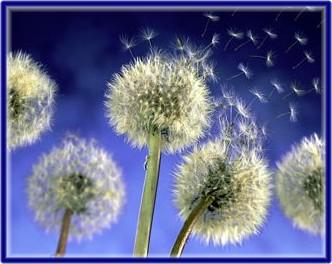 dandelionseeds1