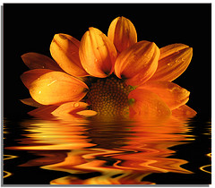 lotus on water