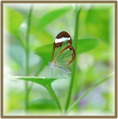transparentbutterfly10-9